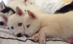 Two beautiful white 8-week old husky puppies with bright blue eyes. Both male. They have their shots and are AKC certified. Please contact via text or email for more information.