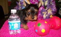 Home raised 3 females & 1 male purebred Yorkies, from parents 4&1/2 lbs. Currently at 6 weeks old born 9/6/2014, they will come with first puppy shot, dewormed, tail docked, vet certificate, & health guarantee. E-mail me for free weekly updates, photos &