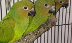 Queen of Bavaria conure bomded young GORGEOUS PAIR!! Selling together as a pair, banded, must have permit thats the Law!! email me thanks
