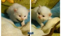 Ragdoll/Himalayan kittens. Born 6/24/16 and will be ready for loving homes at 8 weeks of age. Will have documented vet wellness visit and age appropriate vaccinations. Mom is Flame Point Ragdoll/Himalayan and dad is Blue Point Himalayan..both my pets.