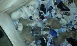 Correction to earlier post the pups are not free asking 225 call 585=287=4144