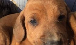 Ready 5/12/15, 1st shots and wormed, mother is purebred Redbone coonhound, father is 3/4 Redbone,1/4 English Setter. Awesome noses & family dogs! 7 males, 2 females. This ad was posted with the eBay Classifieds mobile app.