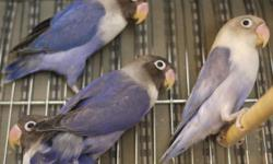 I have 3 violet and 1 lavander fischer lovebirds. Each is $100. All 4 were hand fed but not tame anymore. Good for breeding. All 4 are almost 4 months old. I do not know their sex. Free delivery within NYC, Long Island and NJ No shipping If you are