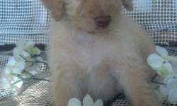 REG. F1B MALE CREAM LABRADOODLE PUPPIES 2 AVAILABLE FOR THEIR NEW HOMES JULY 21,2016 PUPPIES INCLUDE VET CHECK,FIRST SET OF VAC'S,WORMINGS,HEALTH GUARANTEE, 2 REG. (CKC AND ICA) PAPERWORK, AND PUPPY STARTER GIFT.PLEASE CONTACT FOR ADDITIONAL INFO.