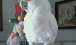 Rehoming adult Goffin Cockatoo. Comes with cage, Kings cage. Bird has preference for females. 585 586-7693.