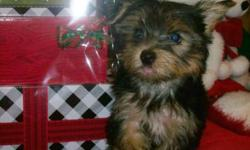 """Remy"" is an adorable playful little guy that's perfect for a family with children. His mother is a parti black/white/tan Yorkie & his daddy a traditional black/brown Yorkie, both purebreeds. He's vet checked, has two puppy shots, dewormed, tail docked, &"