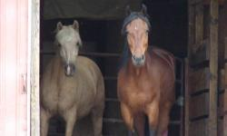 6 year old, Tennessee Walker/Paso Fino 14.2 hh riding mare, 7 year old mule (rides/drives double) and/or gorgeous Meadowbrook style driving cart in partial or full trade for a solid built 2 horse trailer. (Mule has matured since picture as well as in