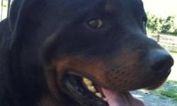 Rottweiler - Dexter - Large - Young - Male - Dog Dexter has been with us for awhile, however it wasn't until recently he is adoptable. He is part of a large rescue in Middletown, NY where over 70 Rottweillers were rescued and taken to different sheltes