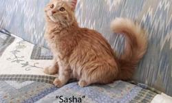 Russian Siberian Forest Cats are a wonderful medium to long-hair breed of cat. Similar to the Norwegian Forest Cat, Siberians are friendly, intelligent, curious and agile cats. They very much enjoy being around their human companions - be they adult or