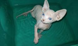 I have 2 RUSSIAN SPHYNX kittens. A male and a female left. Taking deposits at this time. Deposit is $250.00. I am asking $750 with out tica registry. With tica registry they will be $2100.00. Kittens will already be use to there baths, ear cleaning and