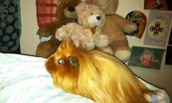 www.facebook.com/KaysKritterzLongHairGuineaPigsAndGerbilBabies NewYorkCity: Long Haired Satin Peruvian Guinea Pigs! All of my pets are hand raised from birth-Healthy, happy, and fun for the family! I am a registered member of the American Cavy Breeder's