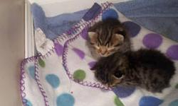 I have two kittens that are Savannah/Persian. One male and one Female. They were born on October 27th. Mother is an F7 Savannah and father is a Tiger Persian. They have lots beautiful spots and have medium hair length. More pictures to follow. They will
