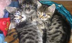 I have three Savannah Persain kittens. One female and two males. They were born on March 17th so they are 12 weeks and ready for new homes. They are all litter trained and very friendly. They have been exposed to little kids and dogs. They do not have
