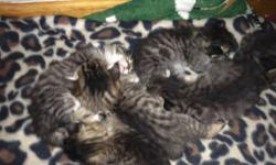 I have six babies born on 8-1. Mother is F6 purebred Savannah and Father is a pure bred tabby Persian. They will not be sold until they are eight weeks. I will accept a non refundable deposit of $50 to hold one. I have three boys and three girls. Serious