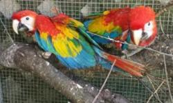 I have two very sweet and friendly baby macaws , they are hand fed very healthy birds .