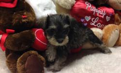 Schnauzer minis,champion lines,genetically profiled,( black ,females) s/p, black/ silvers, males/ females, exsquiste looking babies. Low key disposition,loving and cuddly ,breeder or 27 years,black girls ready to go now ,other litter ready Jan 15-20