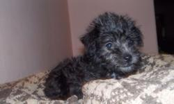 adorable 8 week female all black first generation schnoodle father toy schnauzer mother mini poodle she will be smaller maybe 8-10lbs adult. tails docked dew claws removed weekly dewormed & what a spunky monkey!! Vet health CERTIFICATE IN ORDER WITH FIRST