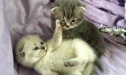 5 Beautiful Scottish Fold Kittens for sale All Kittens are Pure Scottish Breed. - 2 White Kittens - 2 Silver Kittens - 1 Noble Grey Kitten 4 Females / 1 Male These kittens wont last for long. 917-344-0592