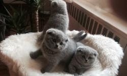 Gorgeous Scottish Fold / Straight kittens for sale. Kittens have already been taught to use the toilet. Their fur is gray-blue in color and is short, dense, and, very soft. Scottish cats have a balanced character: they are very playful and are attached to