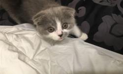 KITTENS FOR SALEEE ! SCOTTISH FOLD AND BRITISH SHORT HAIR , CONTACT 9172572746 FOR PRICING AND OTHER DETAILS !!!! This ad was posted with the eBay Classifieds mobile app.