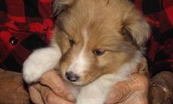 6 Baby Shelties will be ready for their forever homes in 2 weeks. AKC Registered, First Shots, Parents on premises and home raised in loving environment. Sable & White in color. 3 Males 3 Female Also have 2 Male 7 Month old Pups with All Shots, Crate