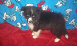 We are offering our Black and White Female Sheltie puppy for placement into her forever home. Sky is sweet and playful. Vet Checked, and all puppy shots. Health guaranteed Please email or phone 315-209-6040 for more information on this beautiful puppy. We