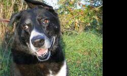 Shepherd - Louise - Large - Adult - Female - Dog Sweet Louise came to us as a stray. This mature lady has been wonderful here at the shelter and she deserves a nice retirement home. She walks well on a leash and she likes other dogs? perhaps a home with a