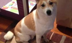 Hachi is a three and a half year old male Shiba Inu. He is not a pure breed being that his size and weight exceed the average Shiba Inu. Hachi is medium size and approximately 40 lbs. Unfortunately my husband and I no longer have the time and attention