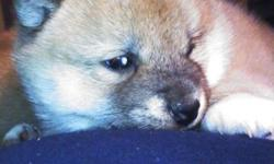 AKC registered Red male Shiba Inu puppy born February 7th.
