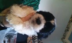 Born : 5/17/2016 Sex : male Breed: shih tzu / poodle 1st shots and dewormed Ready for loving home