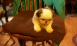 Shih Tzu - Courtesy Post (sugar) - Small - Adult - Female - Dog This animal is a courtesy post if you are interest please contact Harold at 250-4845. CHARACTERISTICS: Breed: Shih Tzu Size: Small Petfinder ID: 26566038 ADDITIONAL INFO: Pet has been