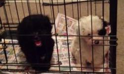 Shih-Poo puppies. 2 males. Vaccinated. Health records. Health warranty. Paper and pee pad trained. 3 months old. 450 fee.