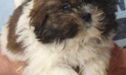 Shih Tzu puppies. AKC. Registered. M & F. Shots & wormed. Many colors to pick from. Quality breeder. Approved homes only. Ready to go to their new homes. Excellent ref. available. 585-225-2975