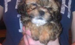 Adorable puppies. Variety of colors. 8-10 pounds full grown. Vet Certified healthy. Family Raised. Call 585-356-4717.