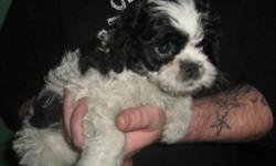 Molly black and white shipoo shots wormed etc. My Mom started her on paper trainging doing good. Cant get pictures to laod pleas eemail for pics mom is shitzu dad is poodle