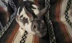 We are proudly offering our beautiful mini rex bunnies for sale. We have been showing and breeding mini rex for 3 years now and have some excellent rabbits to offer. Prices range from $35-$100