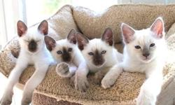Beautiful, Intelligent, and very affectionate Siamese kittens for sale. Kittens available for the Hollidays! Kathy's Country Siamese Kittens are home raised. We are a Cageless Cattery, Siamese breeders registered with the Traditional Cat Association.