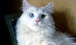 I note that many cat lovers think, a white cat, to looked pure white it must be bathed, but it is not. Enough ,Siberian cat, just brush once a week and it will be a beautiful animal in the house, which beautify any home. This cat is a quiet, handsome boy,