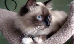 We have SIBERIAN color point cats. They are currently available in many patterns of Color point and in different prizes. Lynx point, Lynx Seal point, Seal point, Blue point, Lilac point, Flame point. All of them have blue eyes!!! The price ranges from $