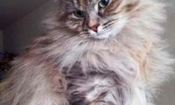 This beautiful cat with soft fur and calm character. She is only a year and there is still plenty of time to be satisfied this female. Please feel free to call me any time and I will be happy to answer all your questions 917-846-2902 , or visit the