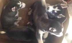 I have 3males and 1 female husky borned on January 7,2015 Purebreed They all have blue eyes but one of the male has bi-eyed brown and blue! 8weeks Asking $700 More Inf: (516)359-8426