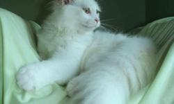 We have a white female with amber eye's color . Good personality and can be your best friend. She is 24 months old and she is still young. Her beautiful amber eye's color very well perfect balance with her snow-white coat,she can brighten any home and her
