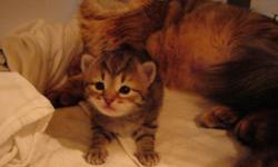 Hello, we are Simply Siberians, Siberian cat breeders.There is 2 available kittens currently from litter in photos. All kittens are TICA registered purebreed Siberian Kittens with Champion bloodlines. All breeder cats have been tested and researched for