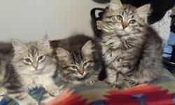 Very beautiful litter of Siberian kittens, pure bred and all leave our home with certified health check. Siberians are known for their hypoallergenic traits, many people who suffer from cat allergies do not have the reaction with Siberians. Our sire was