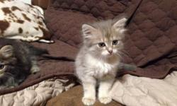 These Siberians are certified and adorable. We have both female and males available. Parents on premises if you wish to see, they are gorgeous and extremely affectionate. Raised in a home with other dogs and cats they are very socialized and should do