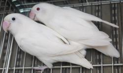This pair is proven. Just started laying eggs. Female is albino and male is all white with black eyes. Have gave me 3 clutches. Lays 4-5 eggs, all hatch. Babies are either albinos or all white with black eyes. $325 for the pair. If interested, email me or