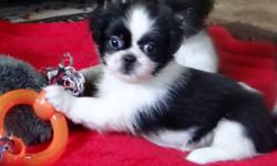 For the first time ever, we have a litter of all little girls. Mom is a Shih Tzu and Dad a Pekingese. They are both family pets that have one litter a year together. 5 of the girls are black and white in color and one is tri colored. They will leave with