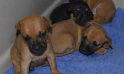Puppies in Rescue - IMPS Miniature Pinscher Rescue has 3 female Min Pin Mix puppies for adoption. (mother is Min Pin x Dachshund) Reserve yours now for placement the end of July. All puppies have been vaccinated, wormed, microchipped, receiving Heartworm