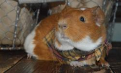 I have one male guinea pig left ! He is 6 weeks old and ready for his forever loving home! Please visit our website at: www.thislittlepiggiewenthome.weebly.com