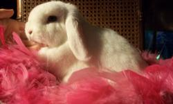 I have a small rabbitry located in Western NY called Cobblestone Rabbitry and we breed various breeds of rabbits. Currently, we have the following rabbits for sale. name - age, gender - color- ped., reg. g.c., - price Dutch Emily - sr. doe - black -